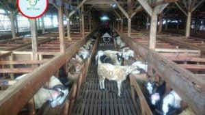 Kandang-domba-CV.-Mitra-Tani-Farm-Bogor-Jawa-Barat-6-570x320